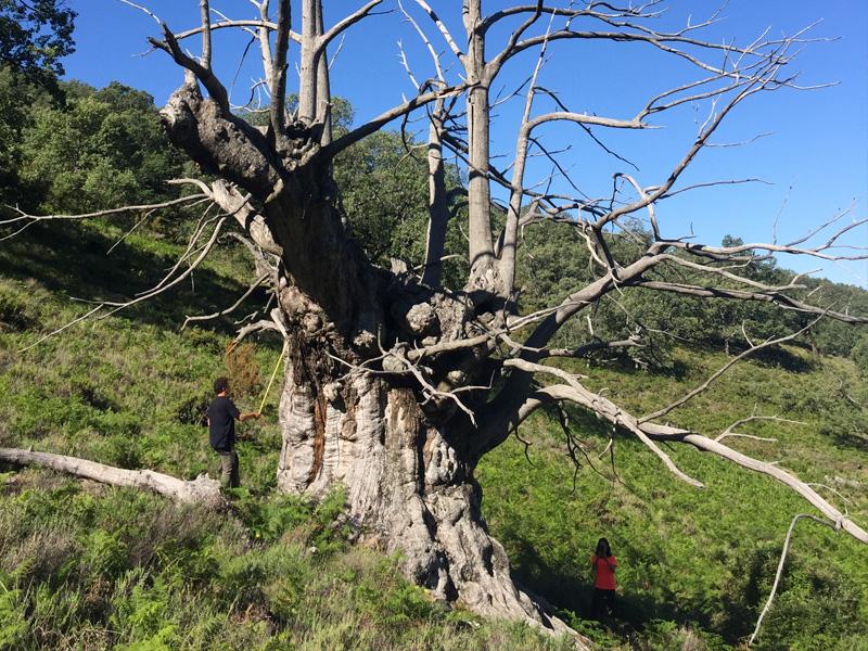 """SABOR DE AMBROZ: Ruta interpretada de árboles notables. """"Raíces del Pasado"""""""